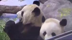 Final weekend to visit giant pandas at Toronto Zoo