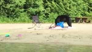Popular beach in Port Moody closed due to wandering bear