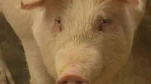 Reality check: new flu strain in pigs is not immediate threat to people