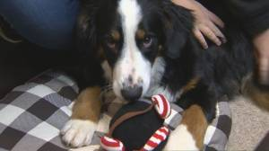 COVID-19 means increase in Ontario pet adoptions (02:49)