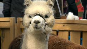 Alpacas where you least expect: in Montreal's old port