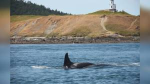 Missing 47-year-old Southern Resident killer whale feared dead (02:05)