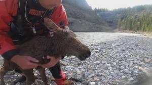 2 Calgary kayakers rescue moose calf in dramatic video (01:53)