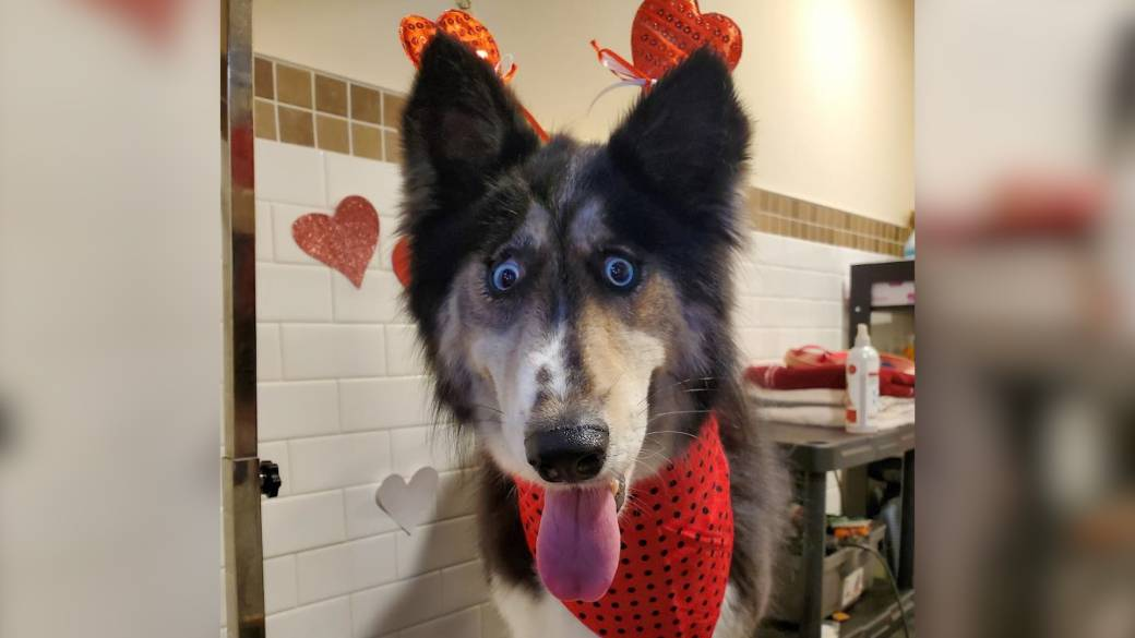 Abandoned husky with 'weird' eyes finally finds its forever home ...
