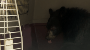 Conservation service backs off investigating couple for saving bear cub (02:02)