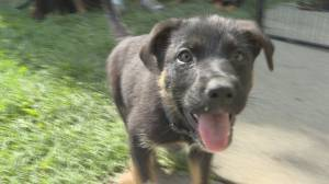 Animal Control works with wildfire evacuee to temporarily house puppies (01:43)