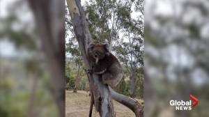 Koala rescued from Australia wildfires fusses over perfect tree