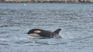 Researchers celebrate birth of new orca calf in 'L' pod (02:06)