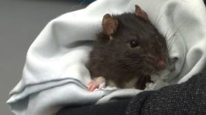 Dumping pets is animal cruelty — Kingston Humane Society deals with over 40 abandoned pet rats (02:03)