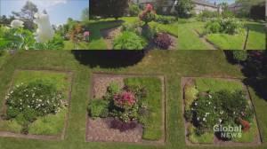 Coronavirus: Toronto communal garden offers residents beauty and stress relief (01:47)