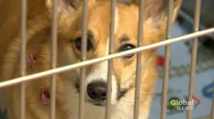 Cannabis edibles worry Calgary vets (01:44)