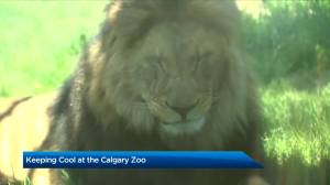 How animals at the Calgary Zoo stay cool in a heat wave (02:03)