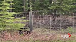 Crowsnest Pass BearSmart program reminds Albertans to be respectful of bears (02:02)