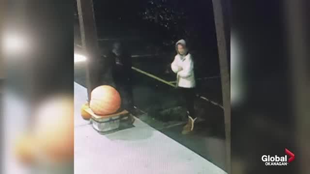 Pumpkin-stealing bandits caught on camera in Okanagan