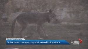 Global News crew spots coyote involved in dog attack (03:00)