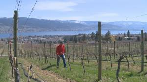 Concerns grow over the toll the pandemic will have on small Okanagan wineries, some of which may not survive the current climate