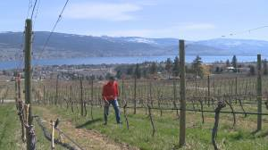 Concerns grow over the toll the pandemic will have on small Okanagan wineries, some of which may not survive the current climate (02:26)