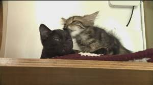 Vancouver cat cafe adapts to survive COVID-19 pandemic