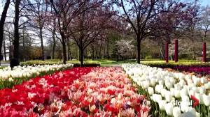 Play video: Canadian Tulip Festival springs up on online this year