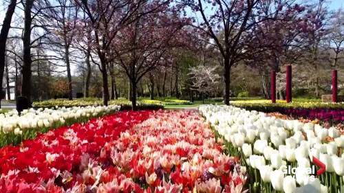 Canadian Tulip Festival springs up on online this year | Watch News Videos Online