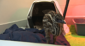 Baby emu found on the loose in Surrey (01:03)