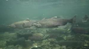 California salmon devastated by rising heat and wildfires (02:19)