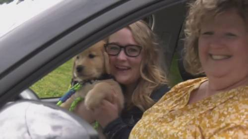 'Drive-thru' pickup for Golden Retriever puppies in training to be assistance dogs | Watch News Videos Online