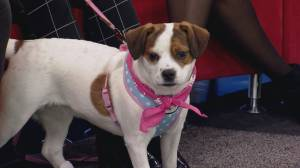 Adopt a pet: Luna the Jack Russell Terrier