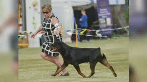 Local Rottweiler headed to 2020 Westminster Kennel Club dog show