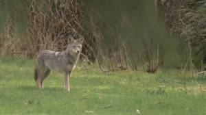 Stanley Park full reopens to the public following coyote cull (01:18)