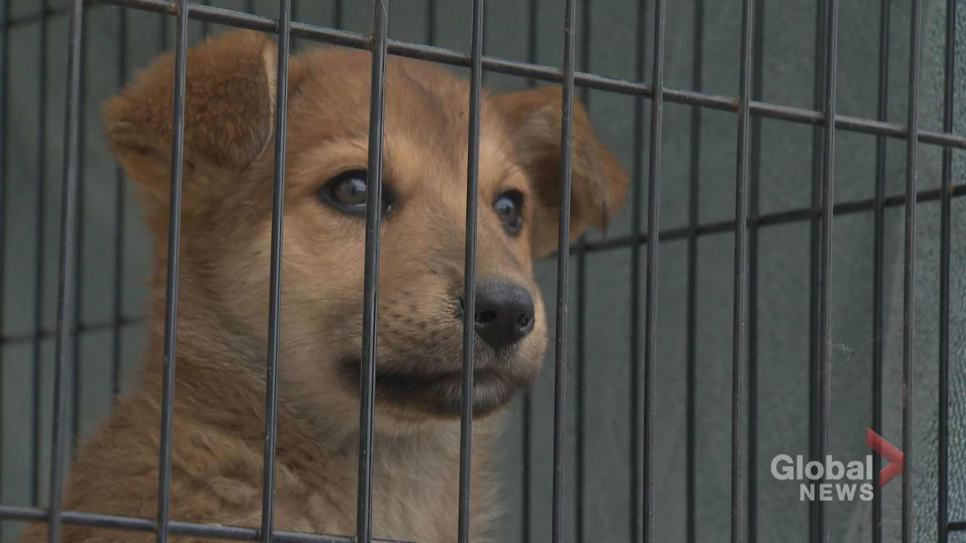 More than 40 dogs rescued from landfill in Manitoba brought to Calgary