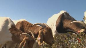 Goats graze grasslands to help prevent fires in Lethbridge