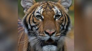 Coronavirus outbreak: U.S. officials say tiger at Bronx Zoo tests positive for COVID-19