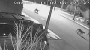 B.C. conservation officers kill 1 cougar, 3 still on the loose in Coquitlam (00:28)