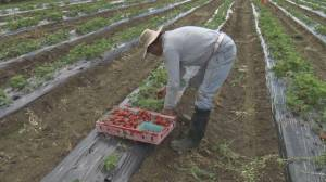 B.C. farmers struggle with labour shortfall