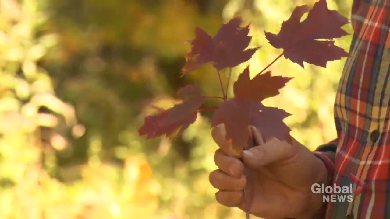 The science behind fall colours and why this is going to be a great year