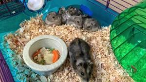 Edmonton Humane Society: Hamsters need homes too! (04:21)