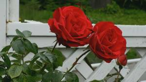 Gardening: How to care for roses
