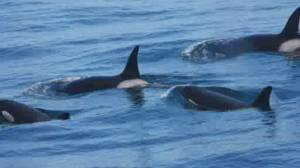 New branches on the killer whale family tree discovered (01:25)