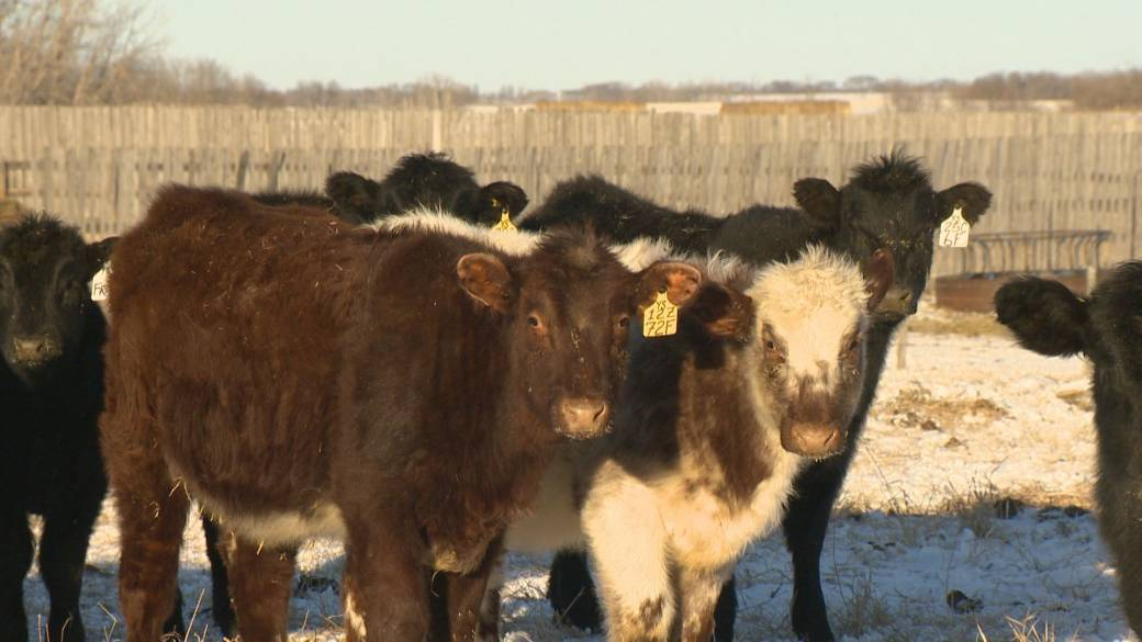 Click to play video: '$10,000 reward offered after cows found shot dead on Saskatchewan farms'