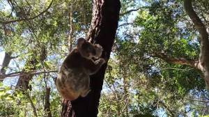 Koalas released back into wild after making full recovery (01:43)