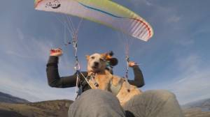 'Aeris the Sky Dog' enjoys paragliding in Kamloops