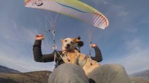 'Aeris the Sky Dog' enjoys paragliding in Kamloops