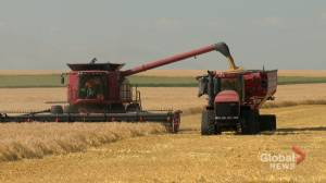 Harvest slow, quality low and mental health a concern for farmers across Alberta (01:50)