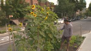 Sunflowers in curbside community garden in NDG deemed a traffic hazard (01:50)