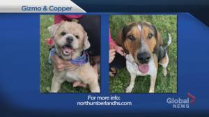 Global Peterborough's Shelter Pet Project Sept. 20 – Gizmo and Copper (01:57)