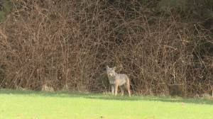 Stanley Park coyote captured on camera after reports of aggressive confrontation (01:04)