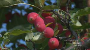 Canmore raises fines for owners of neglected fruit trees, animal attractants