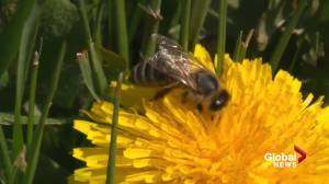 Barrage of big bees could be a good sign in Alberta (01:42)