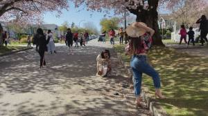 Cherry blossom trees bring out photo-seekers in Vancouver (01:15)